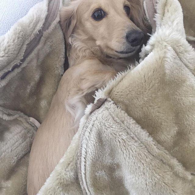 . コートの色と同化🤣💕 . #クリーム #ダックス #ダックスフンド #わんこ #わんちゃん #愛犬 #dog #dogstagram #love #lovedog #dachshund #dachs #dachshundgram #dachshundlove #photo #kyounodachs #todayswanko #사진 #귀여워. #개 #all_dog_japan #甘えん坊 #天然娘