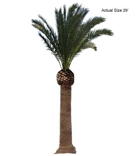 Large 29 FT Overall Canary Island Date Palm Tree - Phoenix-canariensis