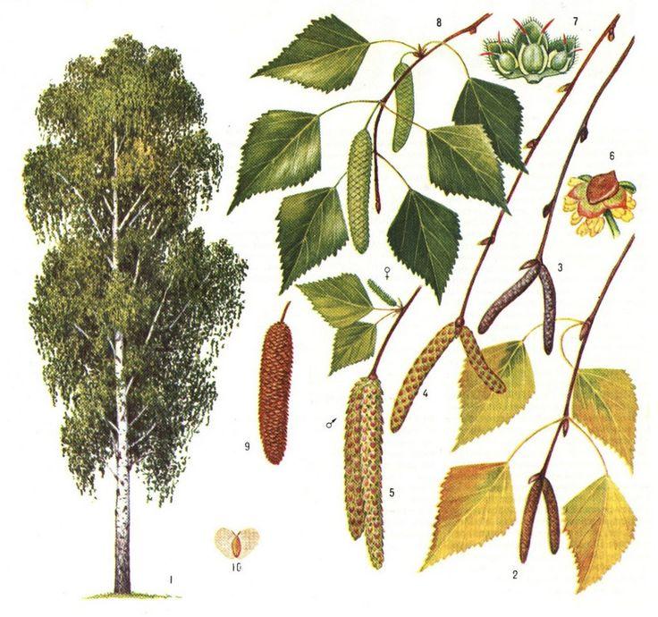 картинки веток разных деревьев статье показан