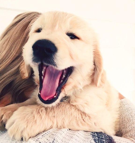 Sweet golden retriever puppy yawn