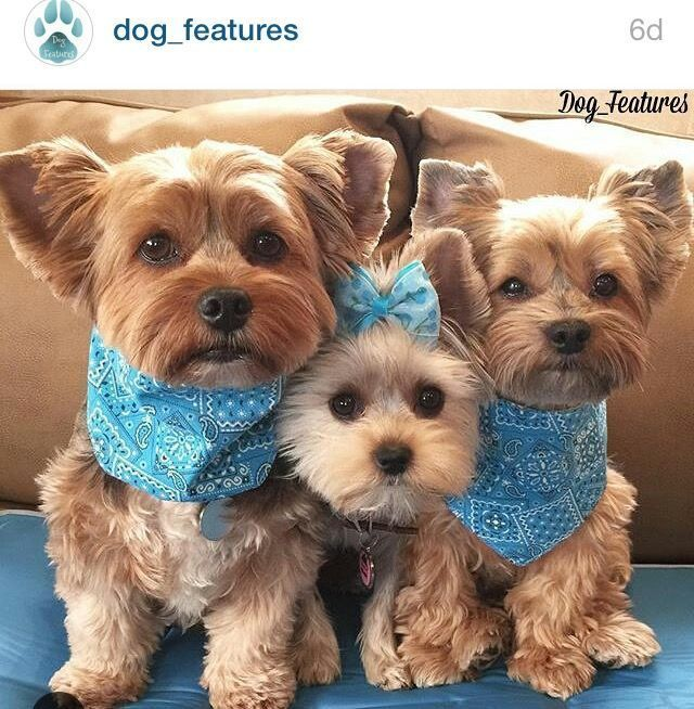There S Nothing Cuter Than A Yorkie Except A Trio Of Yorkies