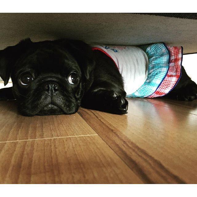 【pag.sakurako】さんのInstagramをピンしています。 《#pag#パグ#sakura#sakurako#dog#犬#桜#櫻子#黒パグ#狭い#ピチピチ#上目遣い#ソファーの下#ギリギリ 好きなソファーの下ギリギリになってきてます(。-_-。)》