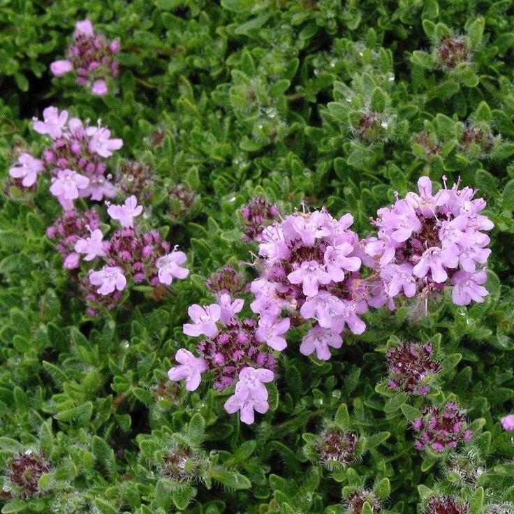 Thymus 'serpyllum Pink Chintz', zone~3