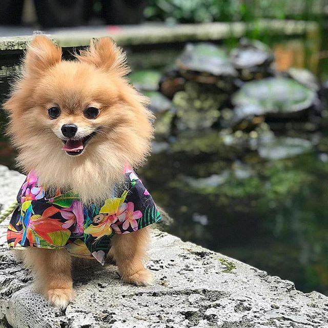 Pomeranian In Hawaiian Dog Shirt From Shopdogthreads Com Dogs Hipster Dog Cute Dog Clothes
