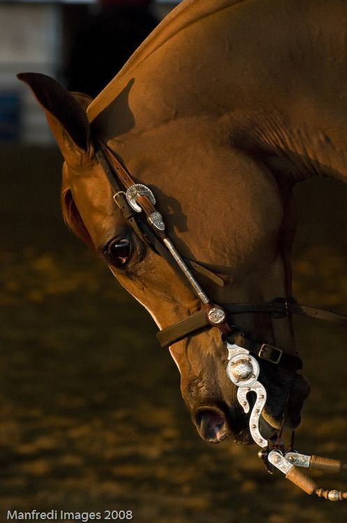 306 Best The Best Arabians In A Western Saddle