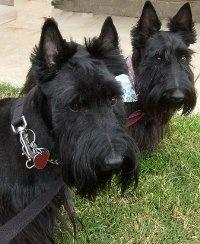 Scottish Terrier Photos