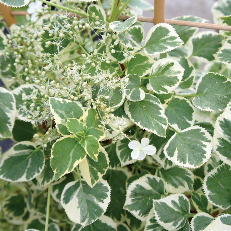 Best 20 hydrangea petiolaris ideas on pinterest - Hydrangea petiolaris ...