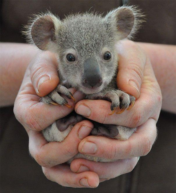 Zu süß für Worte: 30 Tierbabys in Handflächen...BABYKOALA
