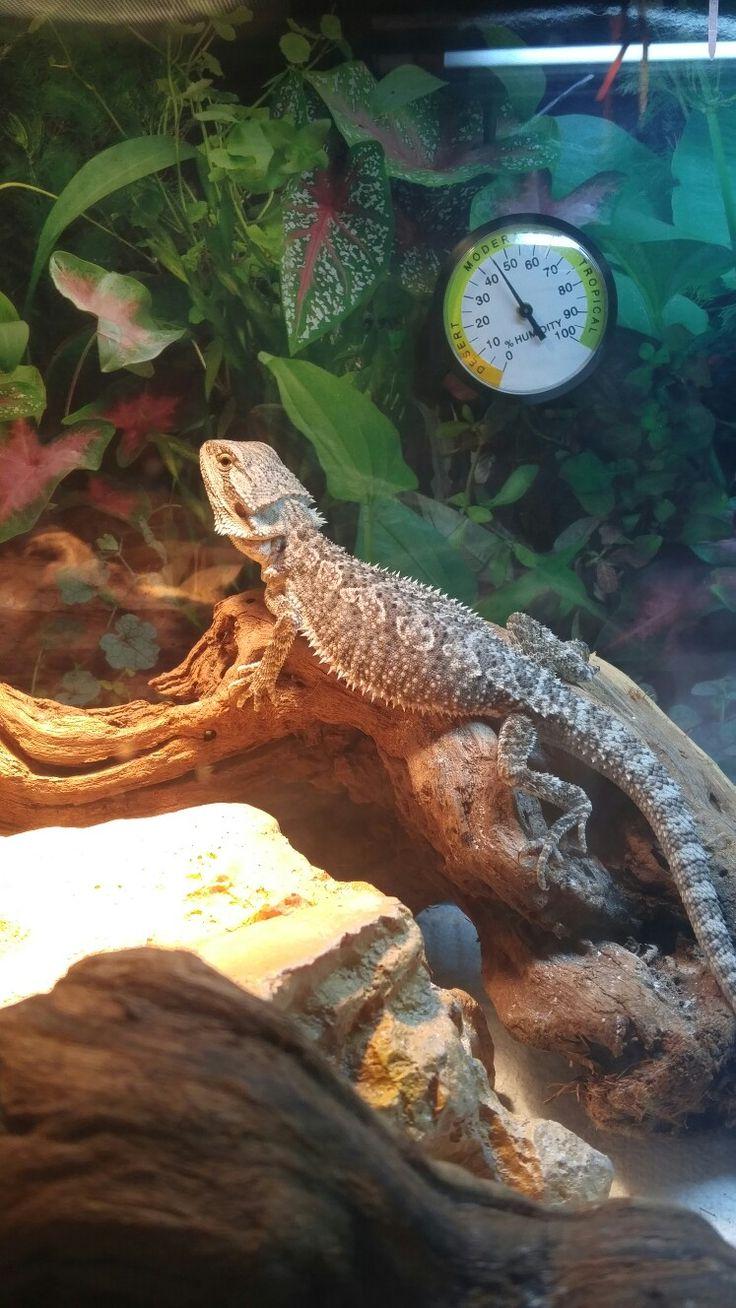 Mejores 16655 imágenes de Bearded Dragon Pet en Pinterest   Reptiles ...