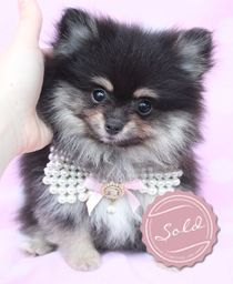 Pomeranian Puppies For Sale in South Florida