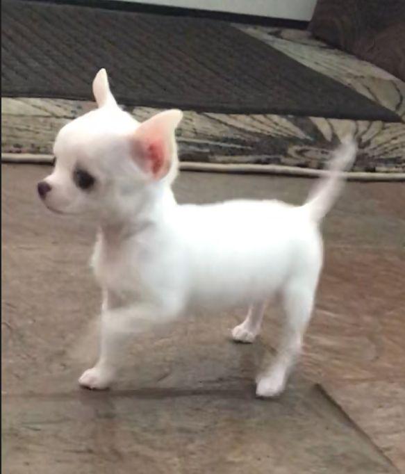Pin By Las Vegas Tiny Chihuahua On Chihuahua Chihuahua Puppies