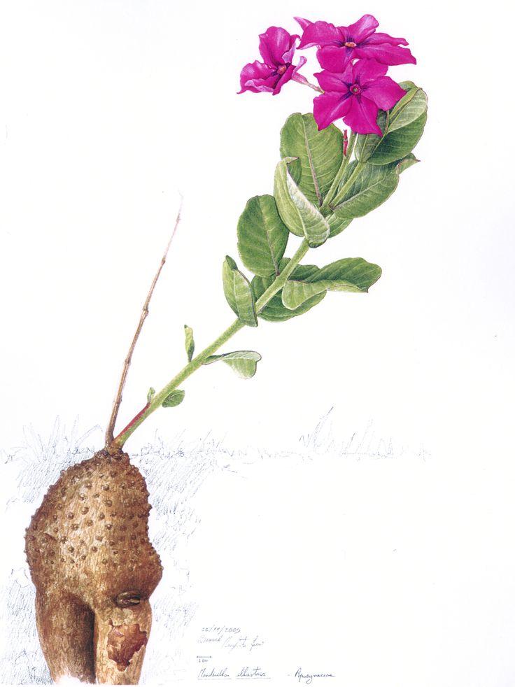 Margherita Leoni, Mandevilla illustris, 53va, watercolour, cm57x38