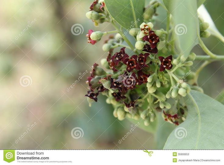 https://thumbs.dreamstime.com/z/inflorescence-santalum-album-indian-sandal-wood-tree-cluster-flowers-35900653.jpg