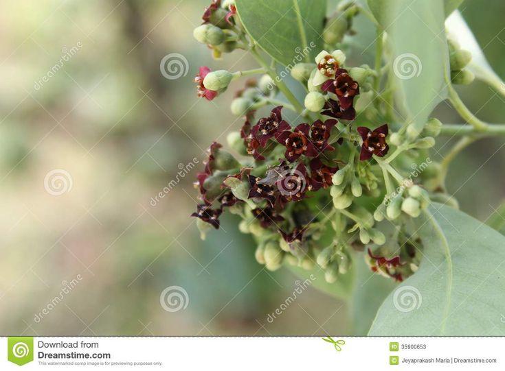 https://thumbs.dreamstime.com/z/inflorescence-santalum-album-indian-sandal-wood-tree-cluster-flowers-35900653.jpg