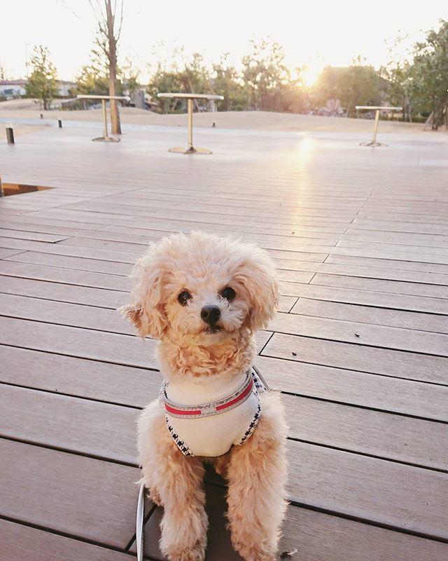 ★☆えまちゃん今日の1枚☆★ . えまと散歩🐻🐶🐾 夕日🌇をバックに パシャり📸✴️ . . #いぬすたぐらむ #いぬとの暮らし #犬との暮らし  #犬のいる生活 #いぬのきもち #愛犬 #わんこ #今日のわんこ #プードル #ティーカッププードル #といぷー #といぷーどる  #トイプードル #おしゃれ #かわいい #可愛い #大人可愛い #いぬ  #犬好き #写真好き #トイプードル大好き #トイプードル部 #トイプードル好きな人と繋がりたい #わんこなしでは生きていけません会 #いぬ部 #いぬら部 #犬バカ部 #いぬバカ部 #pecoいぬ部 #犬好きな人と繋がりたい
