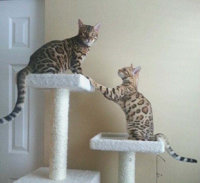 Pin By Jungle Fusion Bengals On Junglefusion Bengal Kittens Bengal Kitten Bengal Cat For Sale Bengal Cat