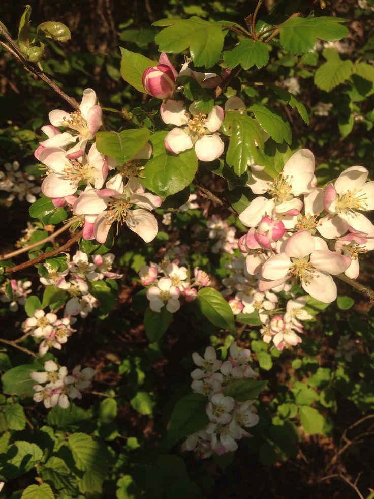 Vättern äppleblom maj 2014