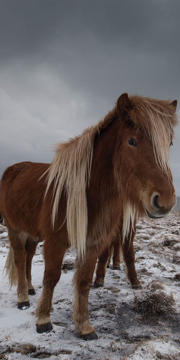 Icelandic horses - by Sean Scott