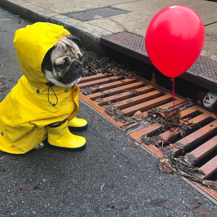 """Doug The Pug @itsdougthepug - """"Will float for piz...Yooying"""