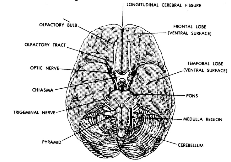 Brain- bird's eye view