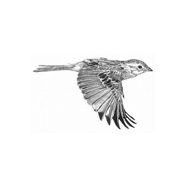 Field Sparrow — Figure 3. Field Sparrow in flight. Drawing by D. Otte. — Birds of North America Online found on Polyvore