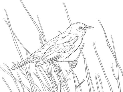 Click To See Printable Version Of Red Winged Blackbird Perched On A Branch Coloring Page