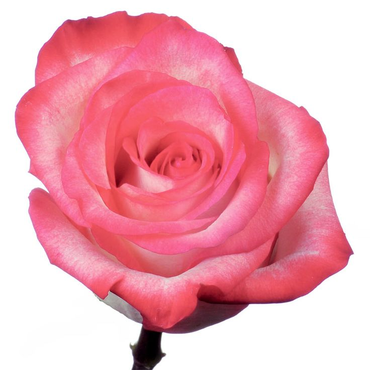 Malibu is a creamy rose with dusty pink edges.