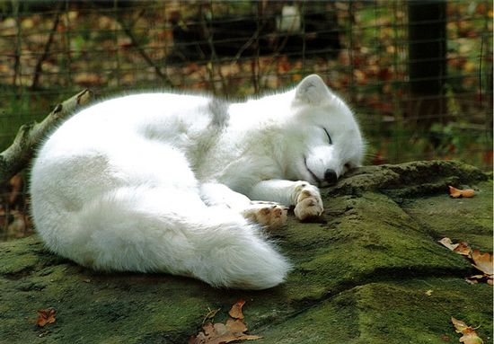 Sleeping Arctic Fox  on a side note has anyone seen the video of the laughing arctic fox? It's adorable and hilarious haha