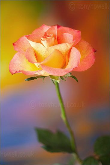 Sunset rose, only the most beautiful flower there could possibly be just like all the rest❤️