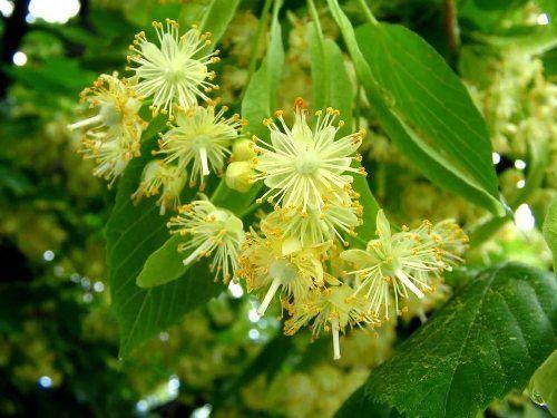Липовый цвет и его польза для здоровья. В каких случаях используются цветы липы. Рецепты с липой для похудения, лечения цистита , суставов и др.