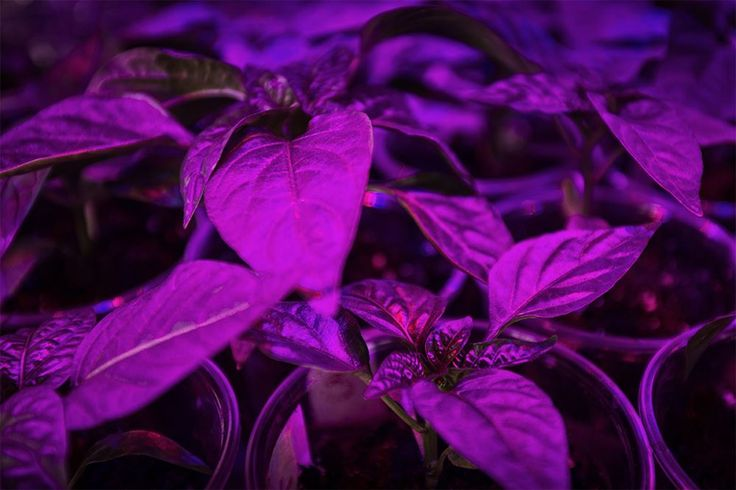 """Ask the Experts: """"I have an LED grow light and my first question is how far away from the flower tops should this light be kept?"""""""