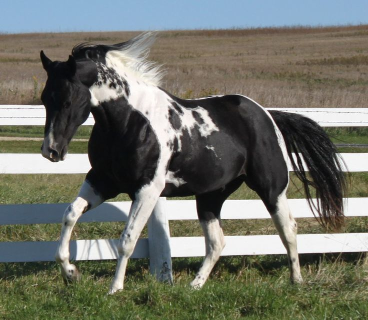 Best Apha Performance Stallions Images On   Paint