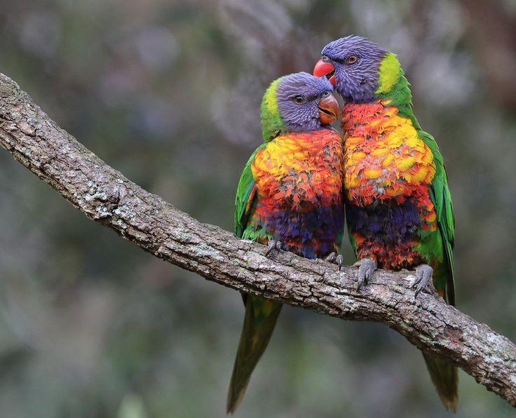 Pareja de loris arcoíris(Trichoglossus haematodus), en el Parque Nacional Montañas Azules, Australia, por Michael Cleary