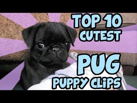 Top 10 Cute Pug Puppies Teacup Puppies For Sale Teacup And Miniature Puppies For Adoption And Rescue In 2020 Cute Pug Puppies Cute Pugs Pug Puppy