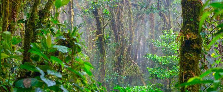 forest monteverde reserve trees in the fog  - Costa Rica
