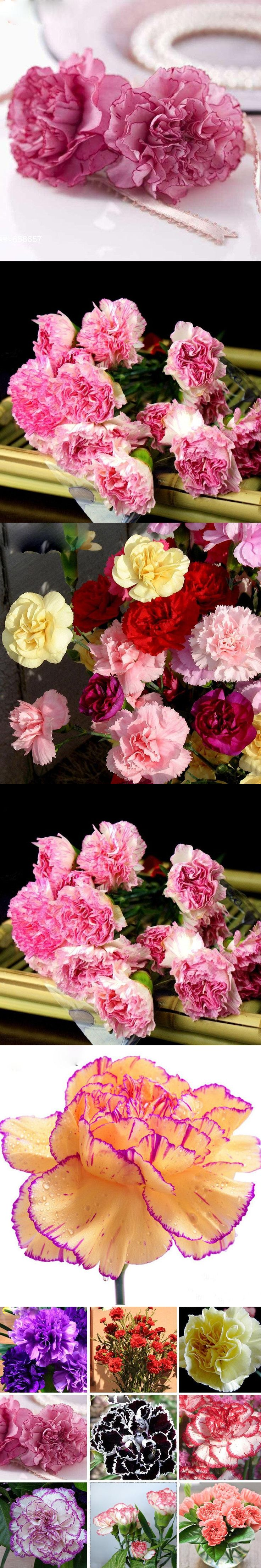 Best 25 dianthus caryophyllus ideas on pinterest carnation hot selling 16 colors available carnation seeds perennial flowers potted garden plants dianthus caryophyllus flower seed biocorpaavc