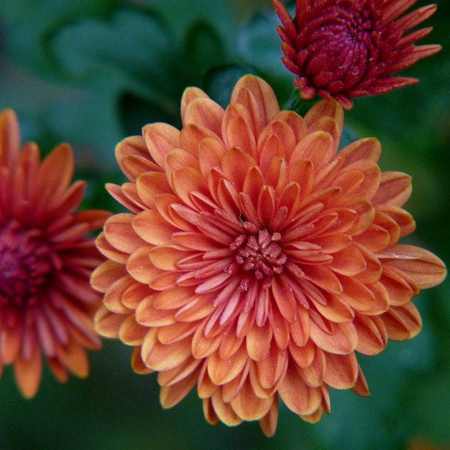 Orange Chrysanthemum (Novembers flower)- getting this as a tattoo for Maybelline and myself (November babies)