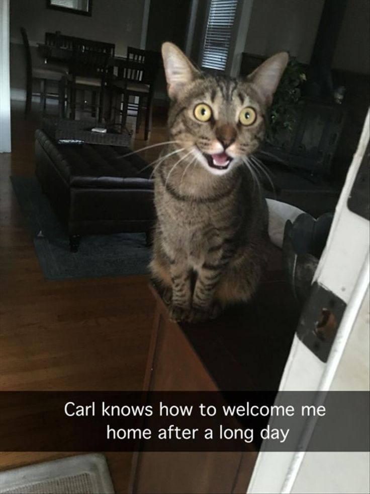 Welsh Terrier, Cat, Kitten, Meme, Humour, Animal, Grumpy Cat, Cuteness, Funny animal, Image Meme: Carl knows how to welcome me home after a long day