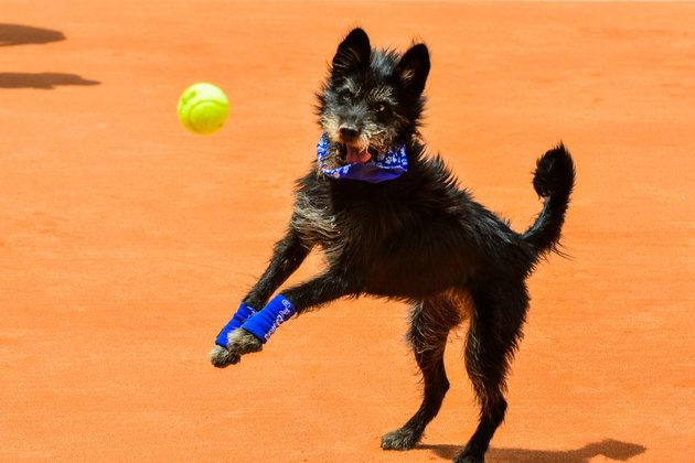 Shelter Dogs Steal The Show As 'Ball Boys' At Brazil Tennis Open | The Huffington Post