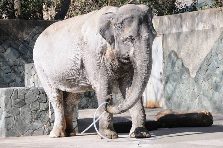 Hanako, the oldest elephant in Japan, died Thursday afternoon at Inokashira Park Zoo in Tokyo, the metropolitan government said. The beloved female was 69