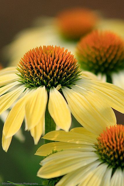 white swan coneflowers - Which plants are best to start from seed?