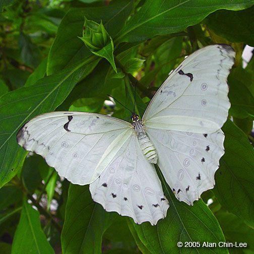 Nymphalidae FAMILY Morpho polyphemus GENUS & SPECIES El Salvador COUNTRY