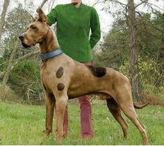 great scooby doo costume on the chihuahua