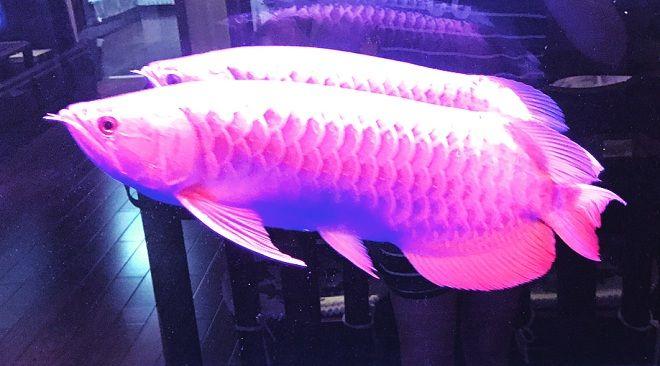 Ciri-Ciri Ikan Hias Arwana Red Berkualitas Beserta Gambar Wallpaper Super Arwana Terbaru Untuk Ponsel Hp
