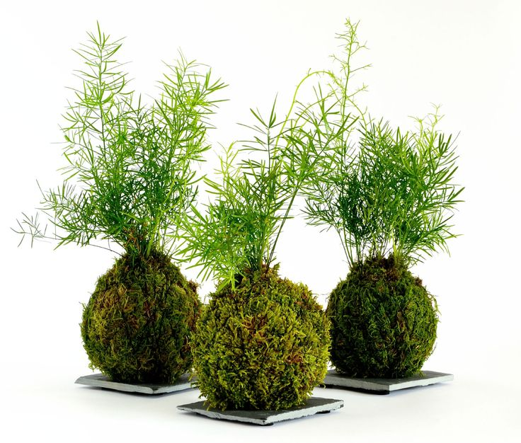 What is a Kokedama? It is a form of Japanese garden art that is centuries old and tied into the practice of bonsai. You can practice the art of Kokedama yourself with just a few items and minimal skill. This article will help.