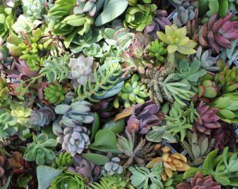 15 succulent cuttings PERFECT for wall gardens wreath topiaries or bouquets Succulents echeverias succulent by TheSucculentSource on Etsy