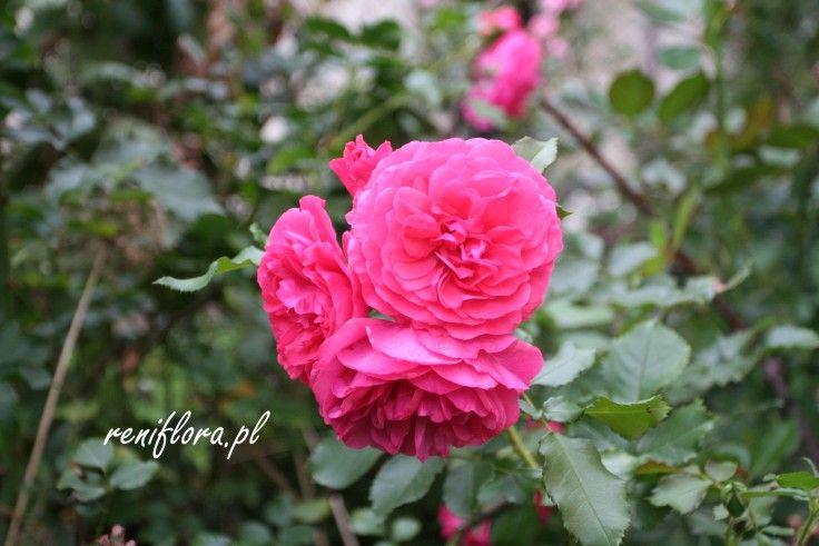 róża Bad Birnbach