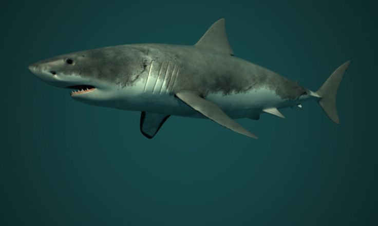 White Shark - Render - 3D Graphic Software: Maya - Mental Ray