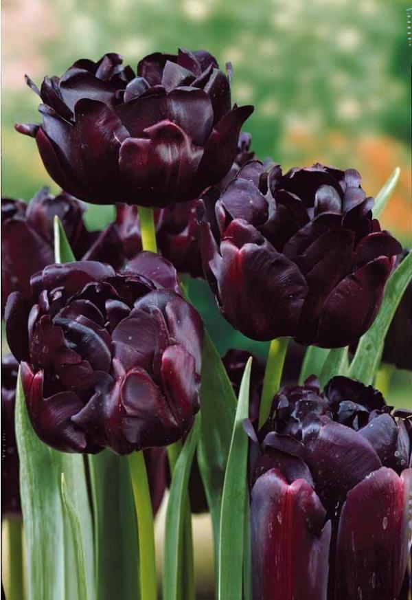 #Tulipes à fleurs de pivoine 'Black Hero'