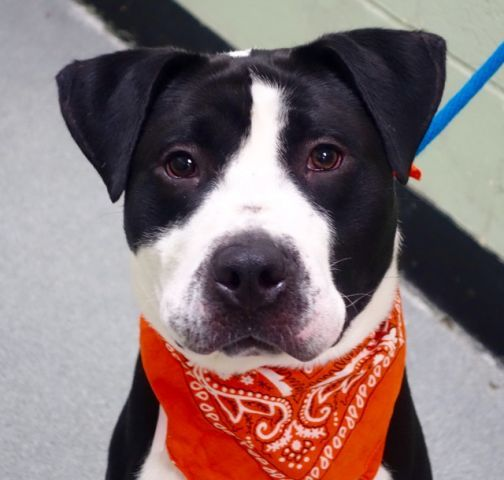STEFANO - A1099928 - - Manhattan  TO BE DESTROYED 01/10/17 A volunteer writes: Stunning in his lush black and white coat, Mr. Stefano is ready for a walk and some play time. Quickly taking advantage of the 'facilities' once we were out the door, Stefano looks up when he finished his business, waiting to be told he's a good boy. So cute!! Wrapped in a warm fleece coat against the morning chill we head to the park. Stefano pulls on the leash so will benefit